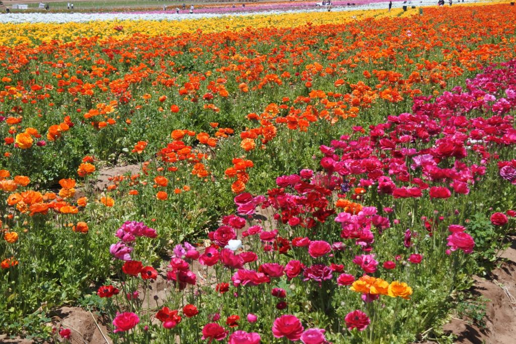Looking for a picture perfect roadside attraction in Southern California? The Flower Fields is just the place to learn about flower farming and get some beautiful pictures, too.