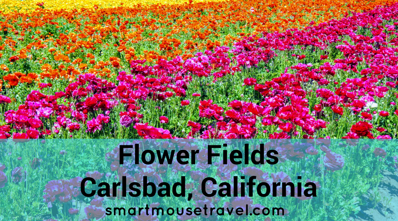 Looking for a picture perfect roadside attraction in Southern California? The Flower Fields is just the place to learn about flower farming and get some beautiful pictures, too. #flowerfields #california #socal