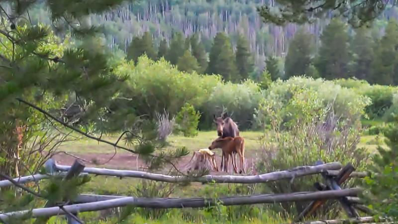 Mom and baby moose at salt lick.