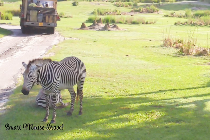 Two zebras along the road on Kilimanjaro Safari at Disney's Animal Kingdom.