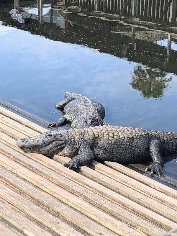 Two alligators sunning on a wooden bridge.