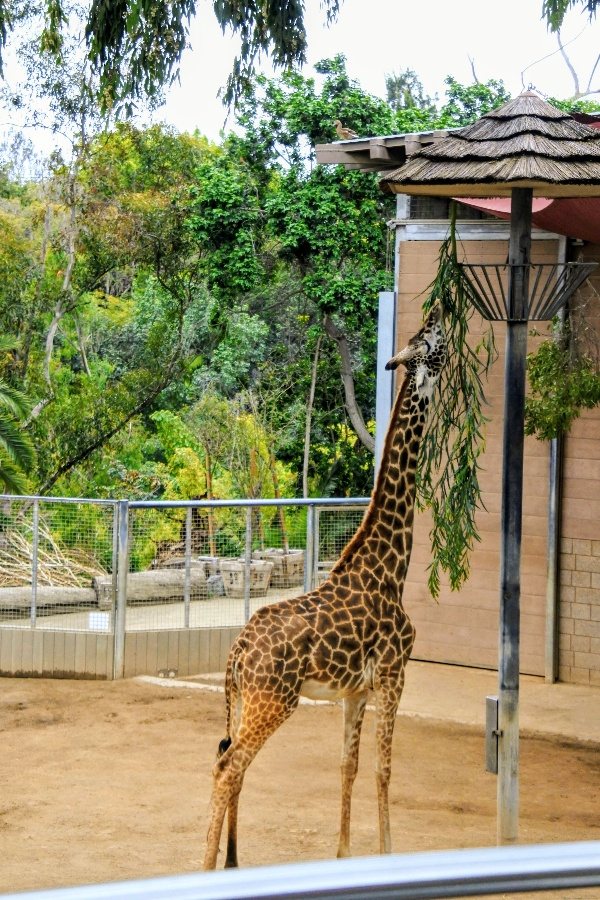 A giraffe eats from hanging basket seen on the San Diego Zoo double decker bus